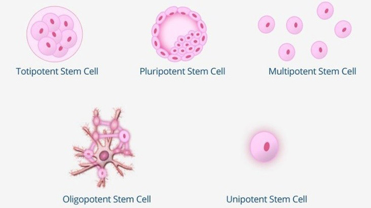 Type of Stem Cell | Do You Know The 5 Types Of Stem Cells